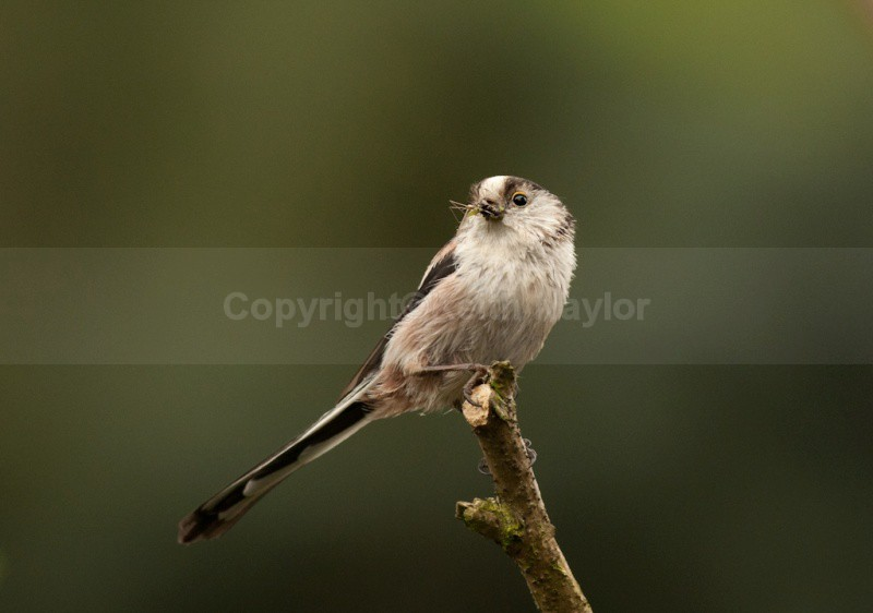 Long-tailed Tit - Latest Work