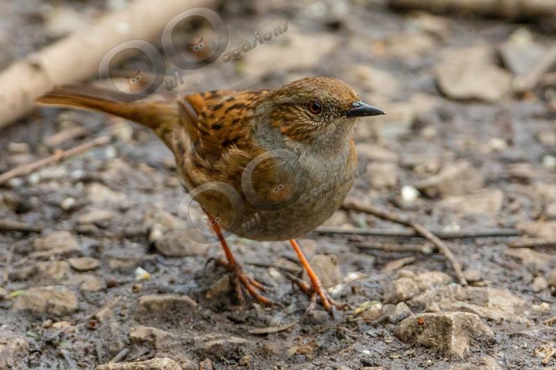 Hedge sparrow  prunella modularis-4985 - UK birds