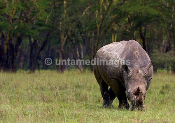 White Rhinoceros - Kenya