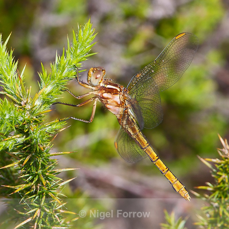 Keeled Skimmer (female) on Hartland Moor - INSECTS