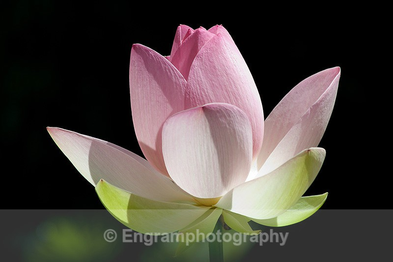 Lily Flower-0281 - RSCH Gallery displayed images