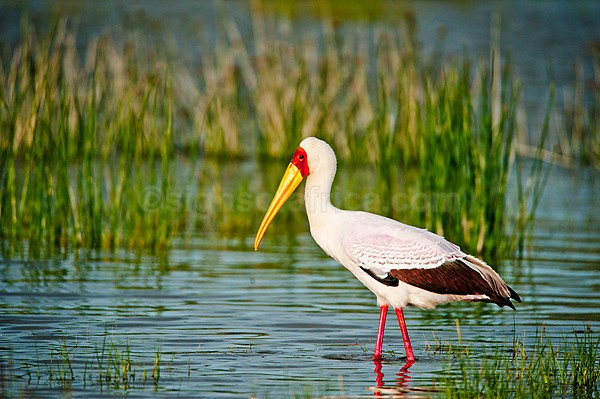 Yellow-Billed Stork, Elementaita, Kenya