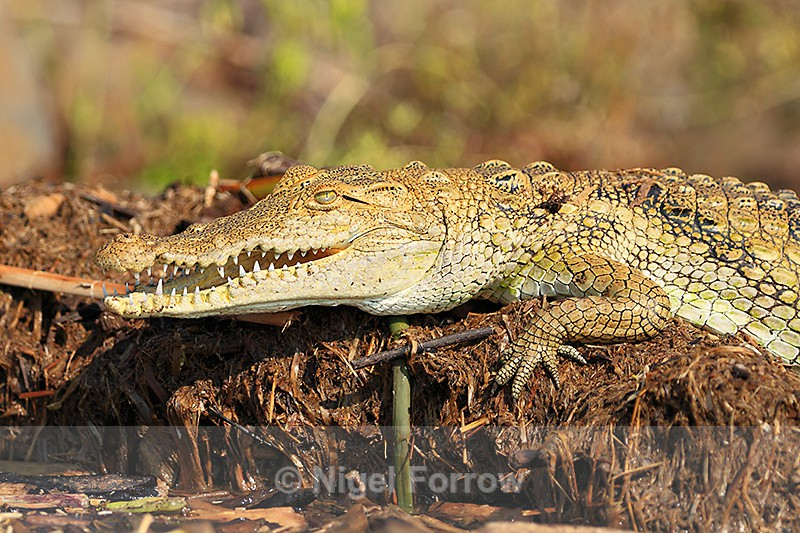 Nile Crocodile on the edge of the lake - REPTILES & AMPHIBIANS
