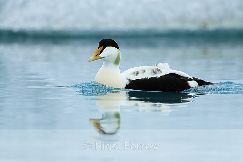 Eider reflection in lagoon, Jokulsarlon, Iceland - Eider