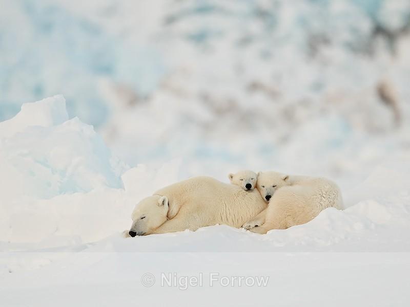 Polar Bear family sleeping, Svalbard, Norway - Polar Bear