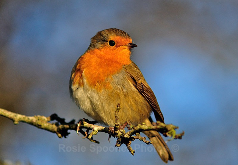 Robin Redbreast on a branch - Birds and Wildlife