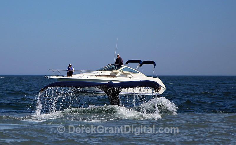 Humpback Whale Megaptera novaeangliae Blue Rae - Bay of Fundy Whales