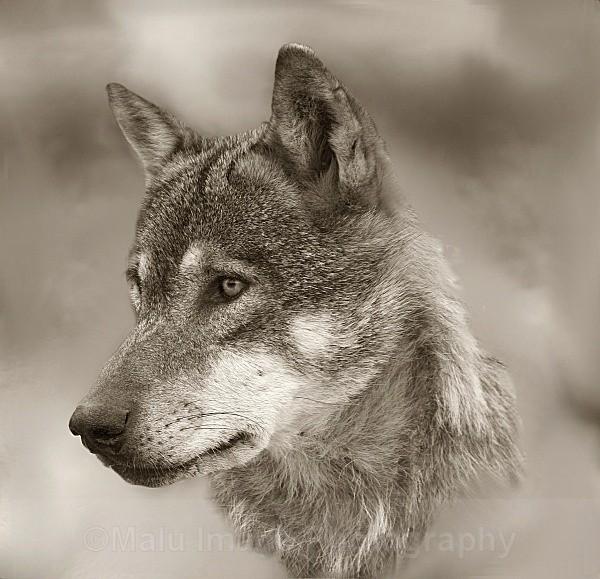 523 Wolf - OTHER WILDLIFE (UK)