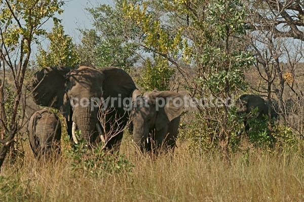Elephants - Krüger NP, South Africa - African Wildlife