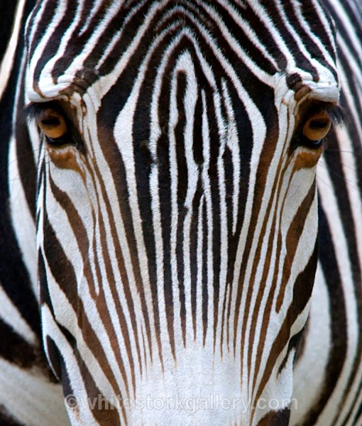 Stripes - Wildlife and Animals