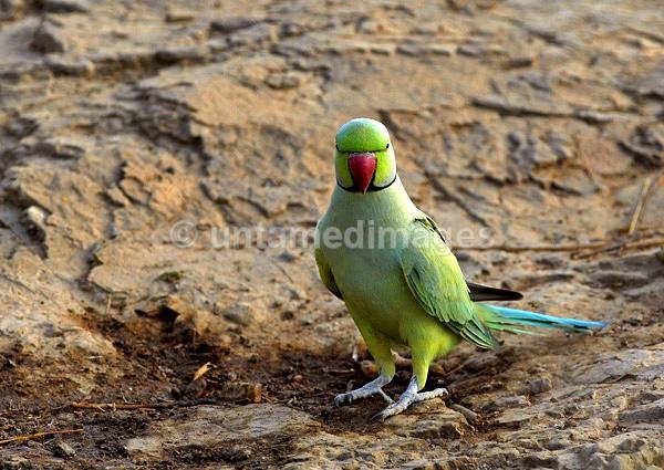 Rose-ringed Parakeet - India