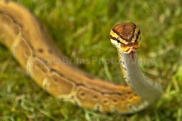 Cleopatra 2 - Reptile Photography