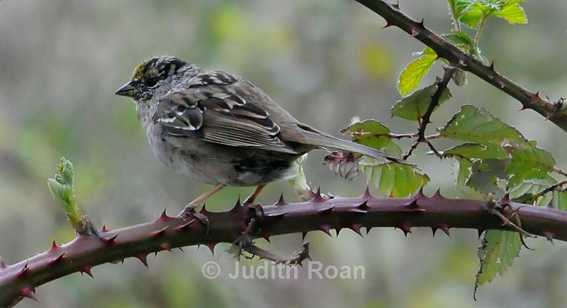 Golden-crowned Sparrow on blackberry - Backyard Birds of Mercer Island