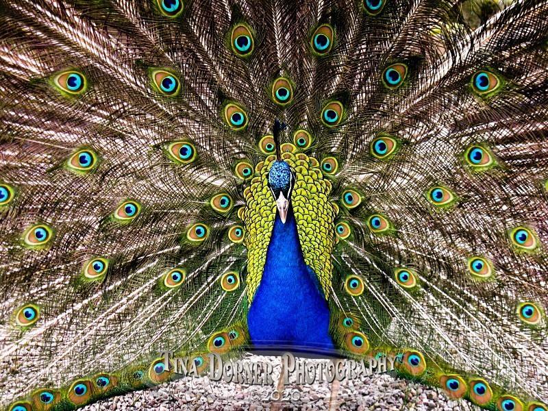 Peacock display from Animal Portraits Portfolio by Tina Dorner Photography