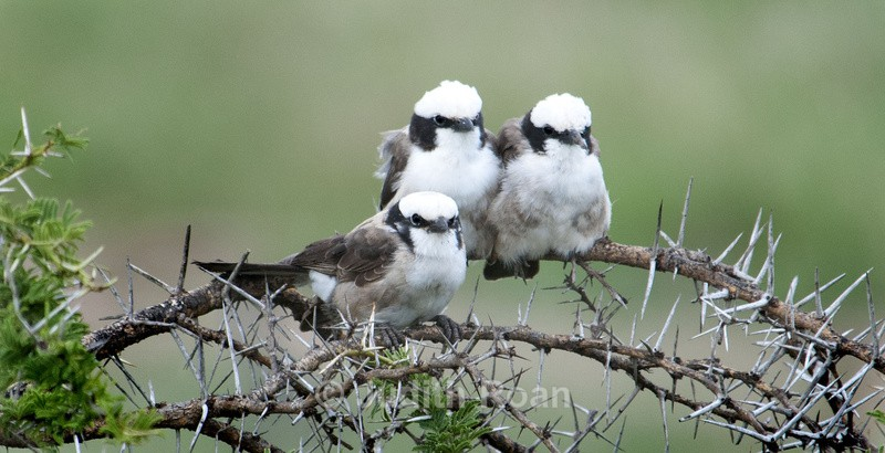 Northern White-crowned Shrike - Tanzania Birds and Mammals