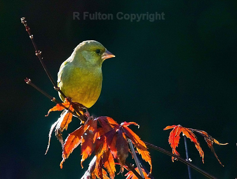 Greenfinch - Nature