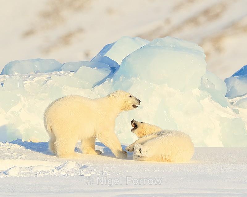 Polar Bear cubs fighting, Svalbard, Norway - Polar Bear