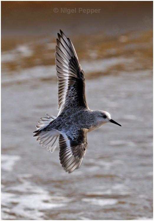 Sanderling in Flight - Sanderlings and Turnstones