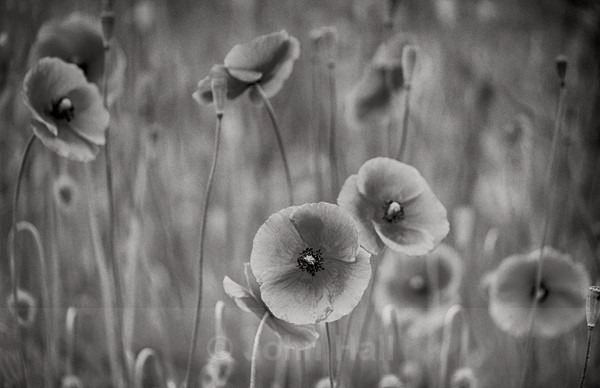 Fine Art Monochrome Of Poppies