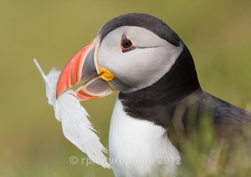 Puffin - Fratercula arctica RPNP0055 - Birds