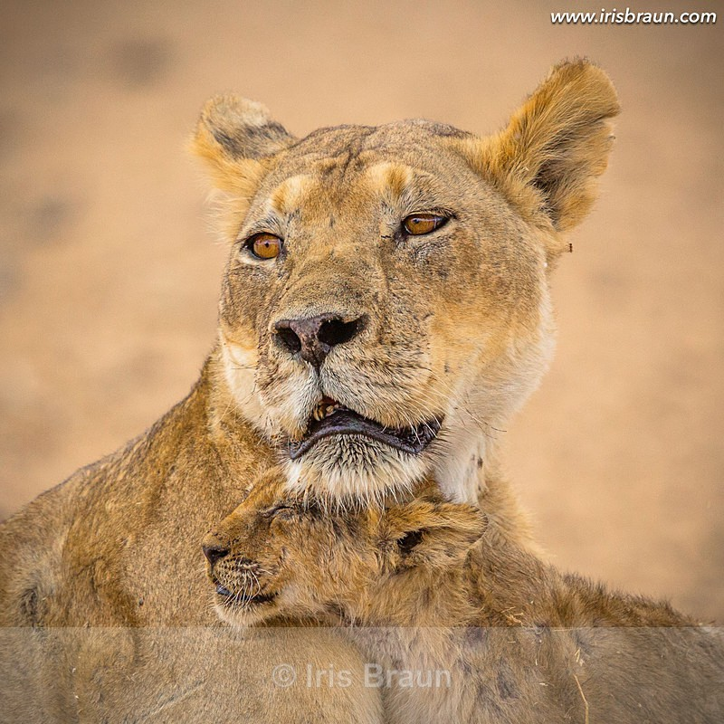 Happy Mother Day - Lion