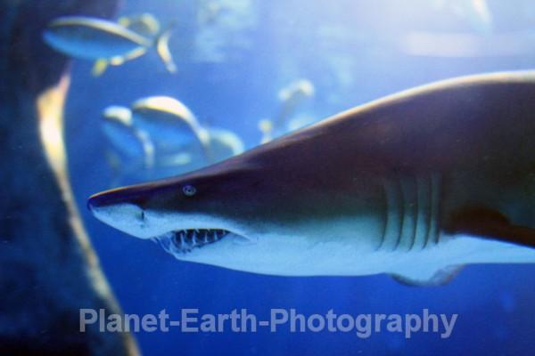Caribbean Shark - Cuba