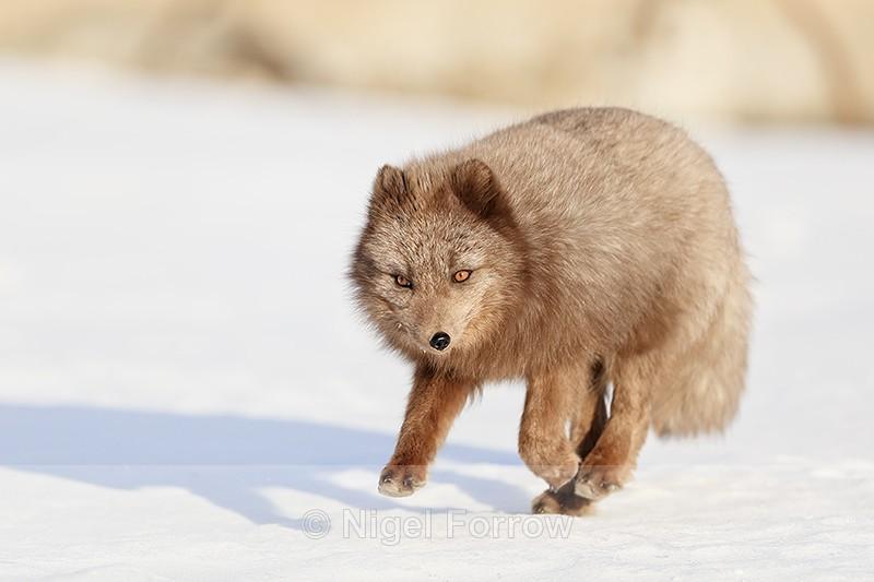 Dark Arctic Fox running, Svalbard, Norway - Arctic Fox