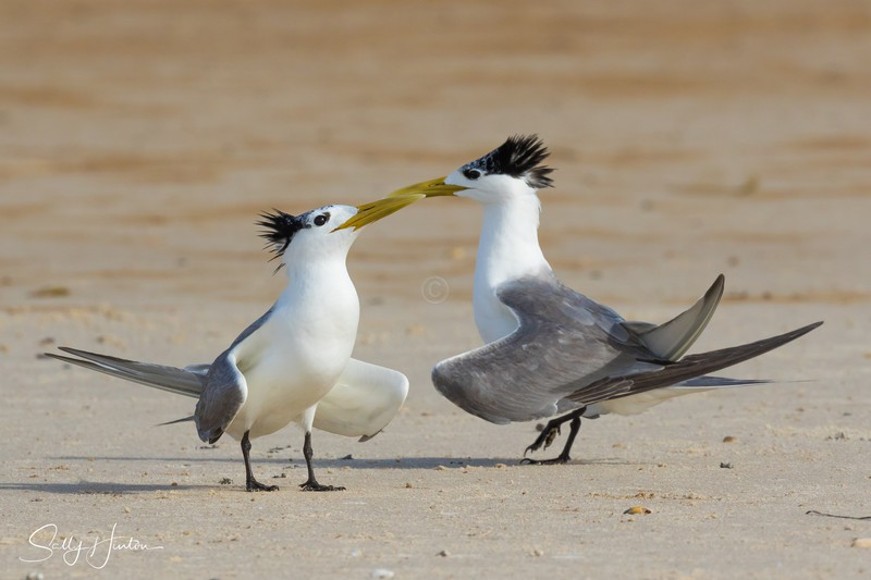 Love Dance 4 - Crested Terns 2018 (For Sale)