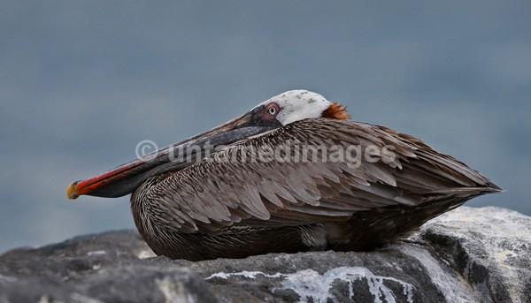 Brown Pelican - Galapágos