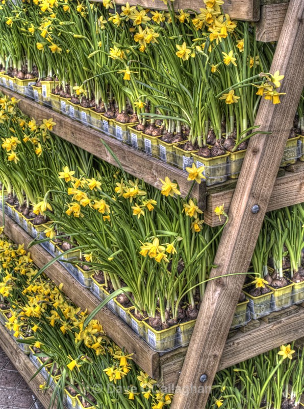 Daffodils In A Row