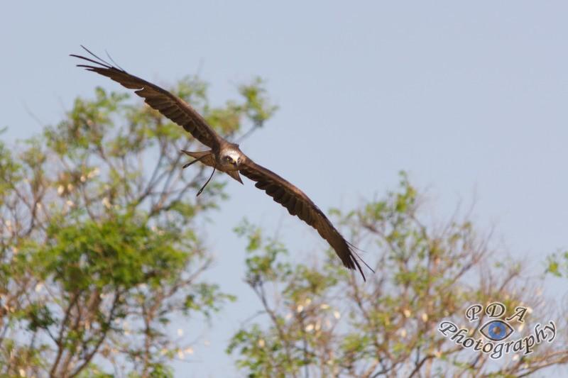 19 Harris Hawk