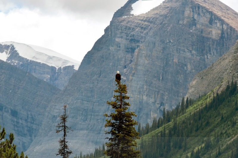 Mountain Eagle - BC and the Rockies,Canada