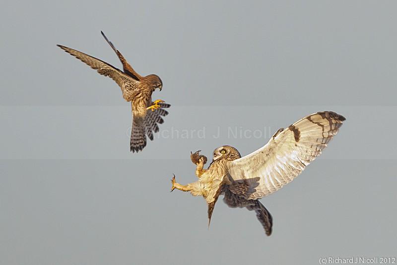 Kestrel (Falco tinnunculus) mobbing Short-eared Owl (Asio flamme - Short-eared Owl (Asio flammeus)
