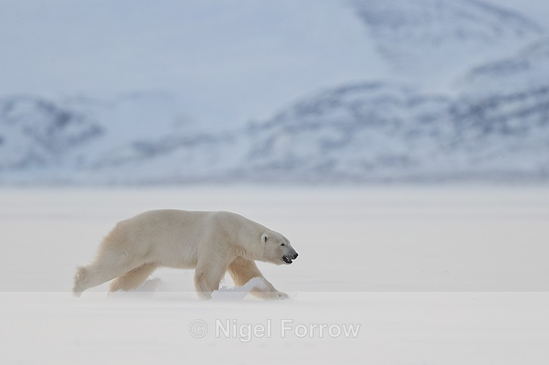 Male Polar Bear running, Svalbard, Norway - Polar Bear