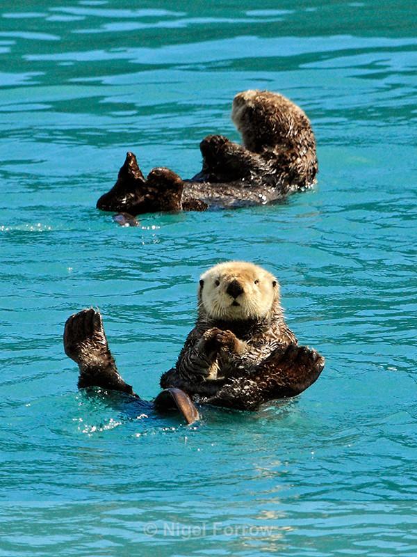 Sea Otters, Prince William Sound, Alaska - Otter Otter Sounds