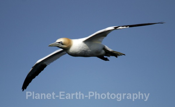 Gannet 4 - UK Wildlife