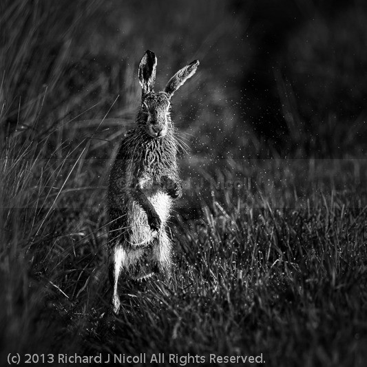 Hare drying itself - Brown Hare (Lepus europaeus)