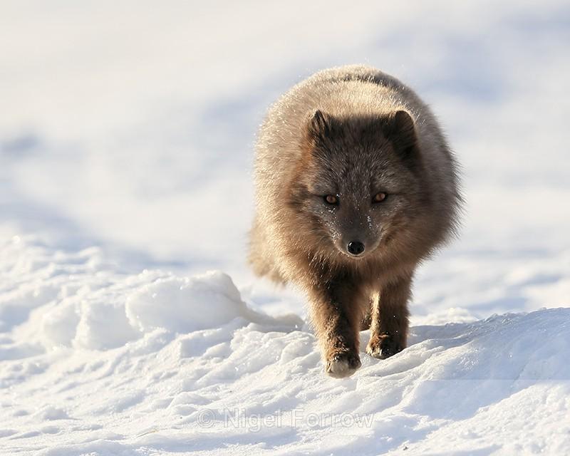 Svalbard dark Arctic Fox, front view - Arctic Fox