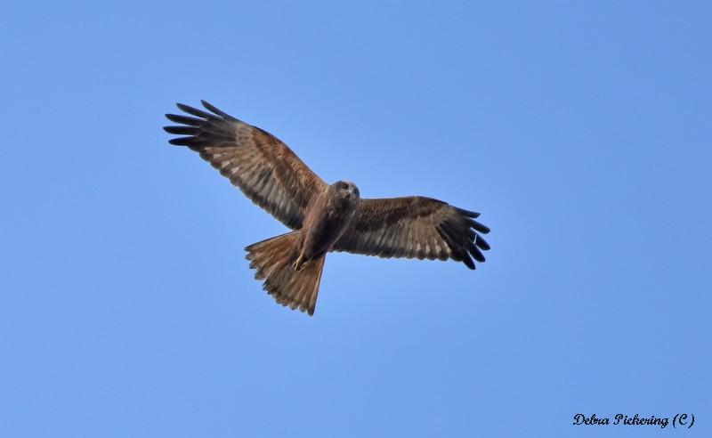 Marsh Harrier - Birds Of Prey