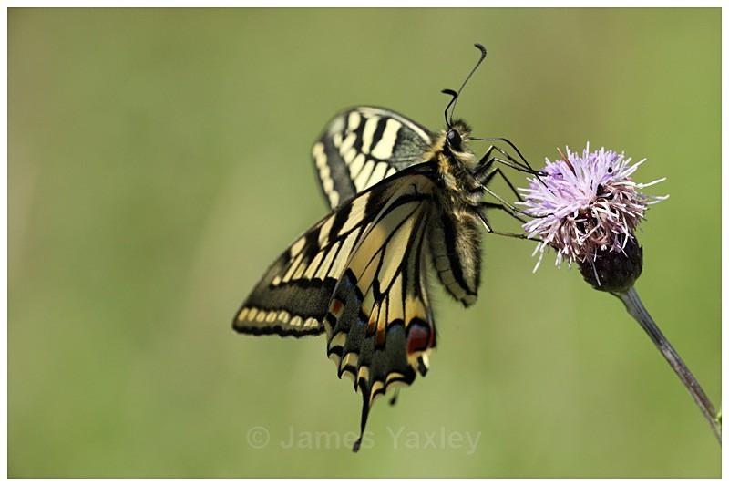 Swallowtail Nectaring - Best of British Wildlife