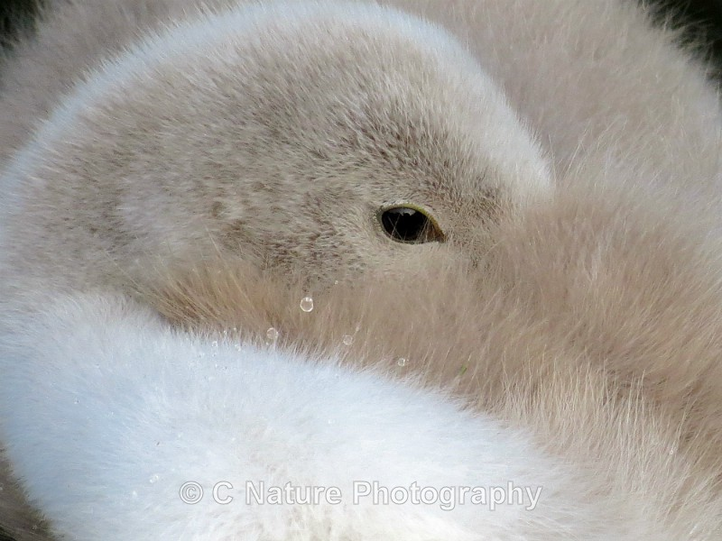 Sleepy Cygnet - Birds