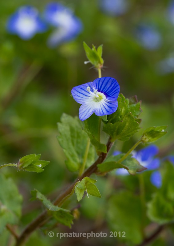 Common Field-speedwell - Veronica persica RPNP0027 - Flowers