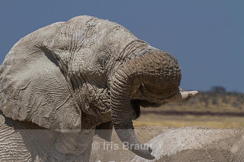 Tusk carrier - Elephant