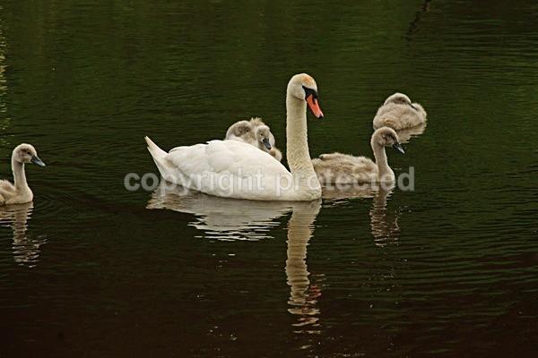 Mute Swan with Cygnets (Bradgate Park, Leicestershire) - British Wildlife