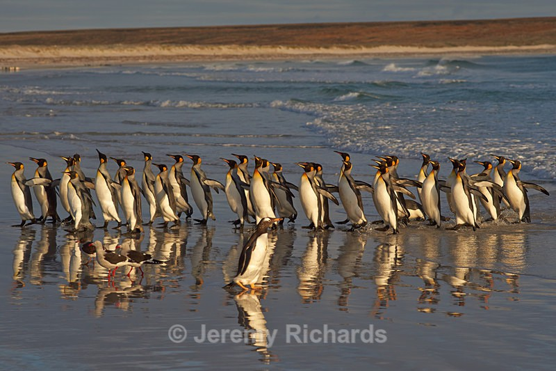 King Penguin Reflections - Volunteer Point