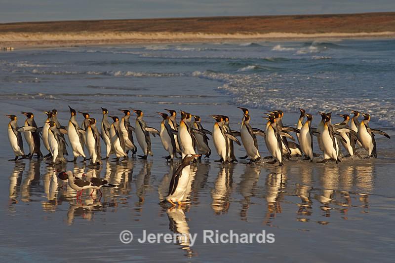 King Penguin Reflections - Volunteer Point