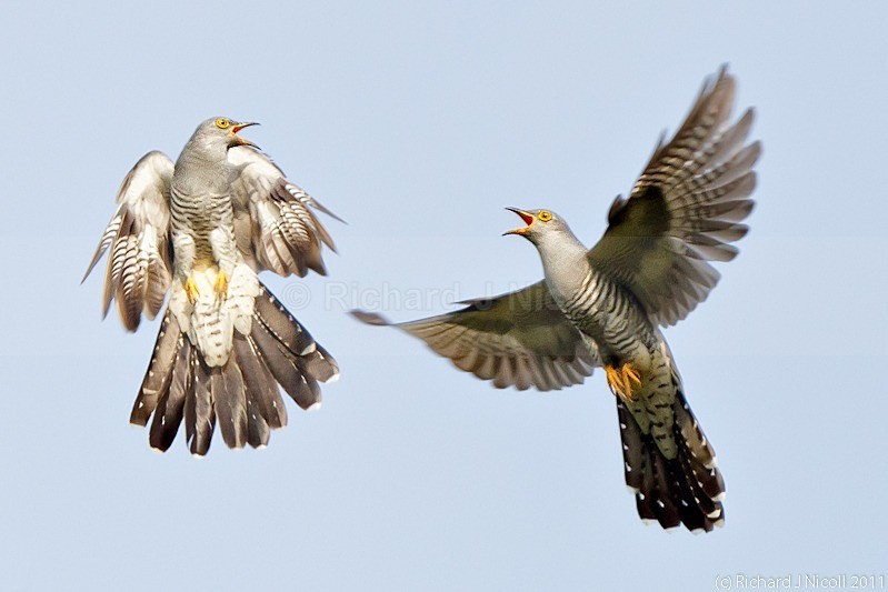 Cuckoo (Cuculus canorus) males fighting - Cuckoo (Cuculus canorus)