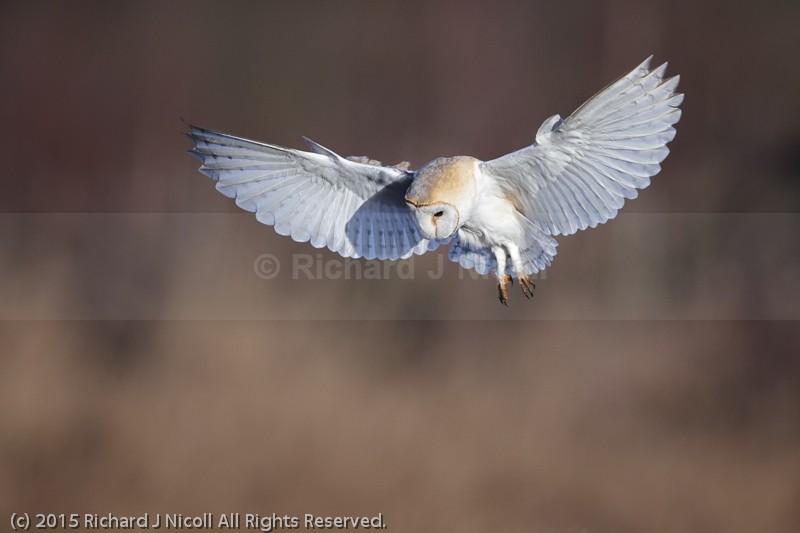 Barn Owl (Tyto Alba) hovering - Barn Owl (Tyto Alba)
