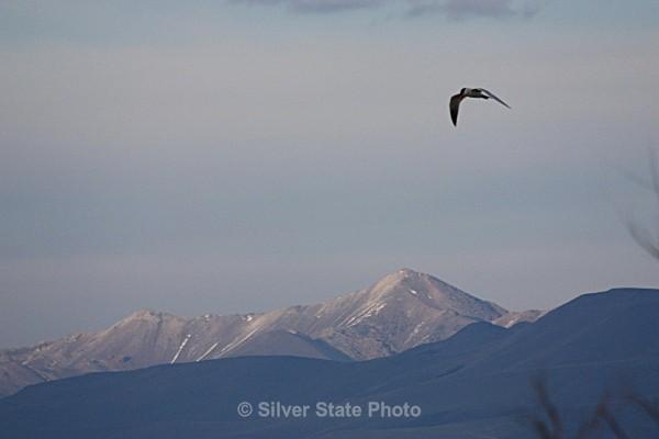 Common Tern over Jobs Peak - Nevada Birds