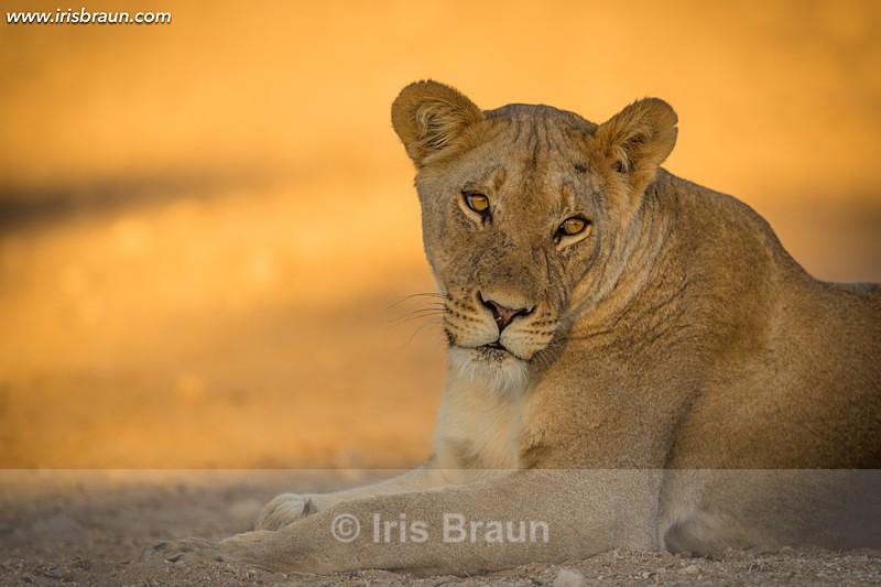 Handsome Lioness - Lion